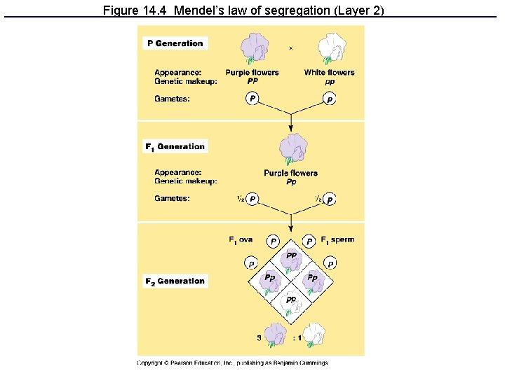 Figure 14. 4 Mendel's law of segregation (Layer 2)