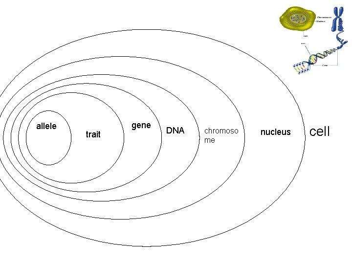 • = allele trait gene DNA • chromoso me nucleus cell
