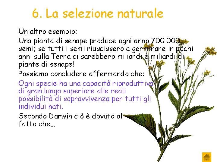 6. La selezione naturale Un altro esempio: Una pianta di senape produce ogni anno