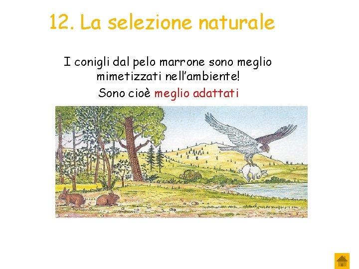 12. La selezione naturale I conigli dal pelo marrone sono meglio mimetizzati nell'ambiente! Sono