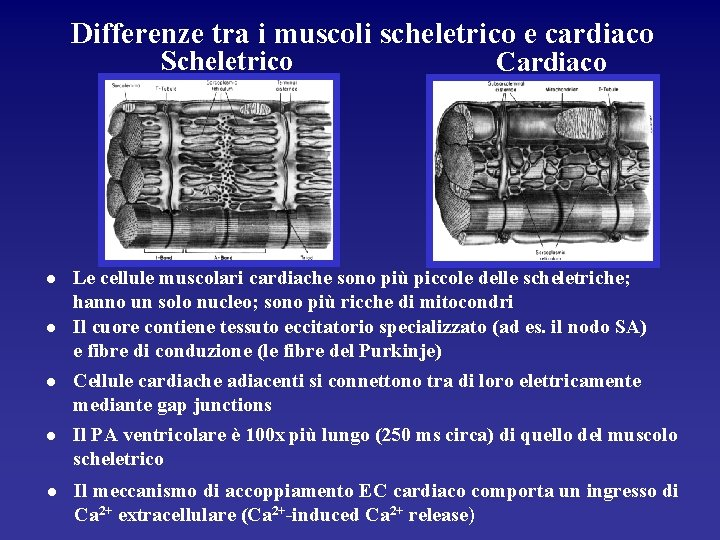 Differenze tra i muscoli scheletrico e cardiaco Scheletrico l l l Cardiaco Le cellule