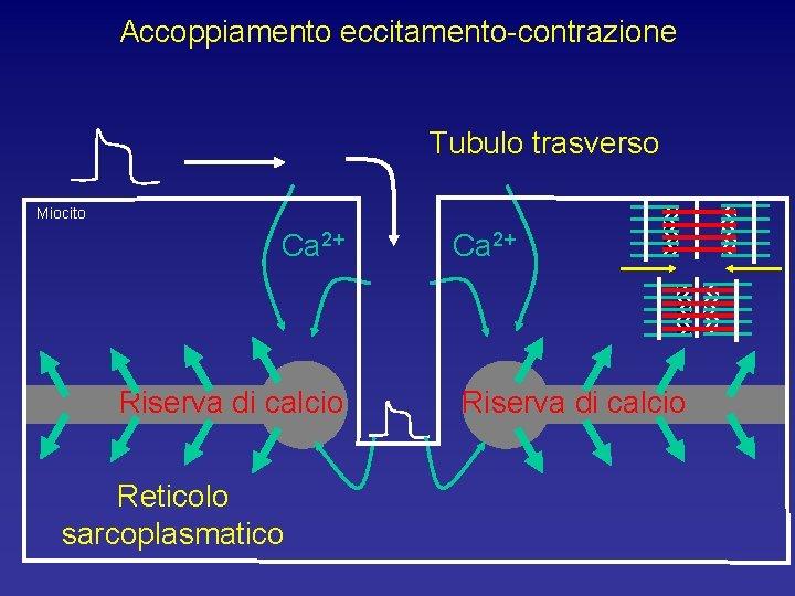 Accoppiamento eccitamento-contrazione Tubulo trasverso Miocito Ca 2+ Riserva di calcio Reticolo sarcoplasmatico Ca 2+