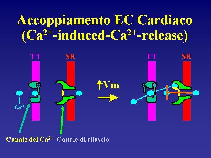 Accoppiamento EC Cardiaco (Ca 2+-induced-Ca 2+-release) TT + SR TT Vm Ca 2+ Canale