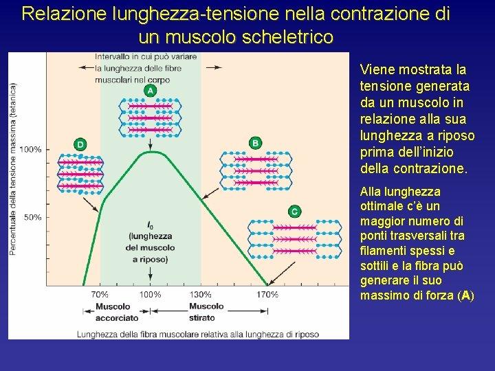 Relazione lunghezza-tensione nella contrazione di un muscolo scheletrico Viene mostrata la tensione generata da