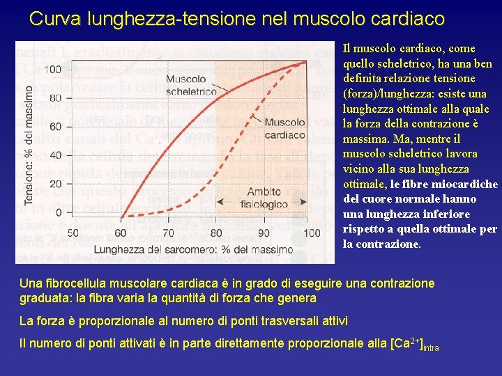 Curva lunghezza-tensione nel muscolo cardiaco Il muscolo cardiaco, come quello scheletrico, ha una ben