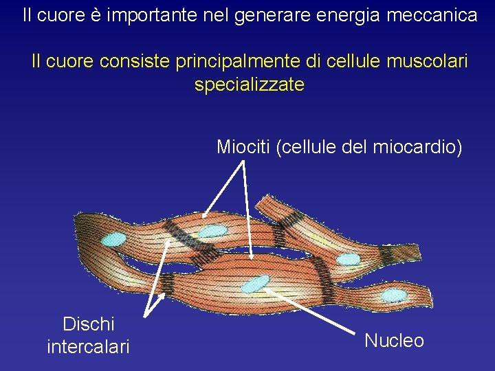 Il cuore è importante nel generare energia meccanica Il cuore consiste principalmente di cellule