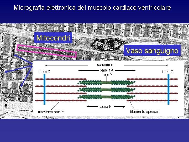 Micrografia elettronica del muscolo cardiaco ventricolare Mitocondri Vaso sanguigno Dischi intercalari linea Z sarcomero