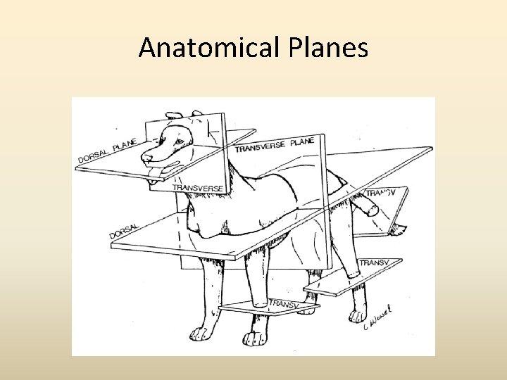 Anatomical Planes