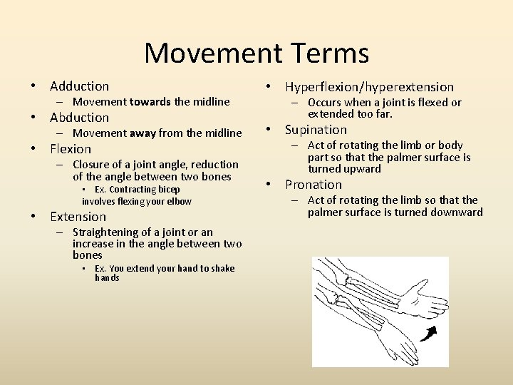 Movement Terms • Adduction – Movement towards the midline • Abduction – Movement away