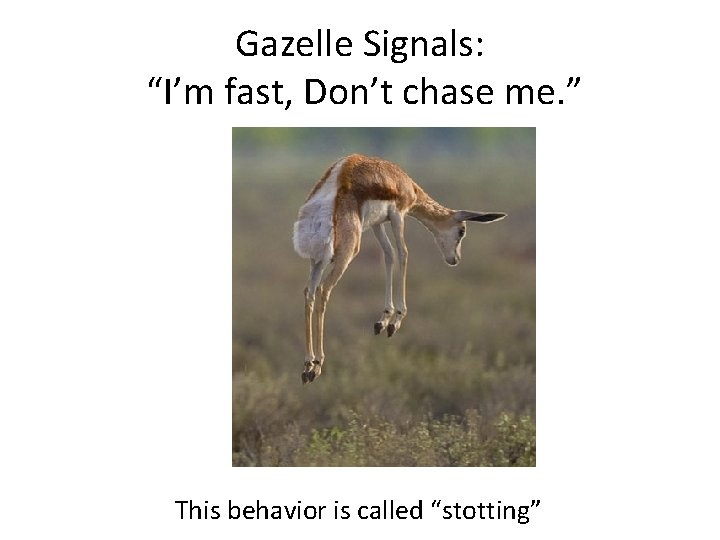 """Gazelle Signals: """"I'm fast, Don't chase me. """" This behavior is called """"stotting"""""""