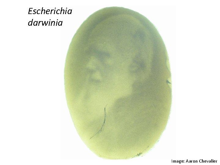 Escherichia darwinia Image: Aaron Chevalier