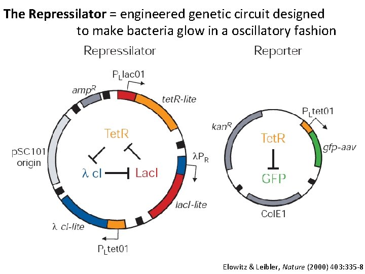 The Repressilator = engineered genetic circuit designed to make bacteria glow in a oscillatory