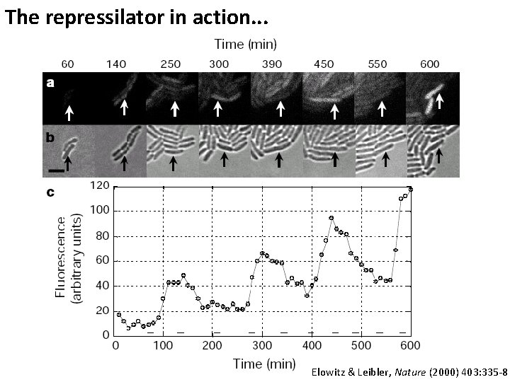 The repressilator in action. . . Elowitz & Leibler, Nature (2000) 403: 335 -8