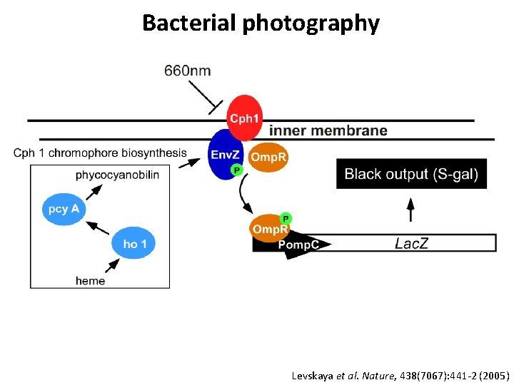 Bacterial photography Levskaya et al. Nature, 438(7067): 441 -2 (2005)