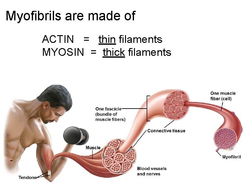 Myofibrils are made of ACTIN = thin filaments MYOSIN = thick filaments