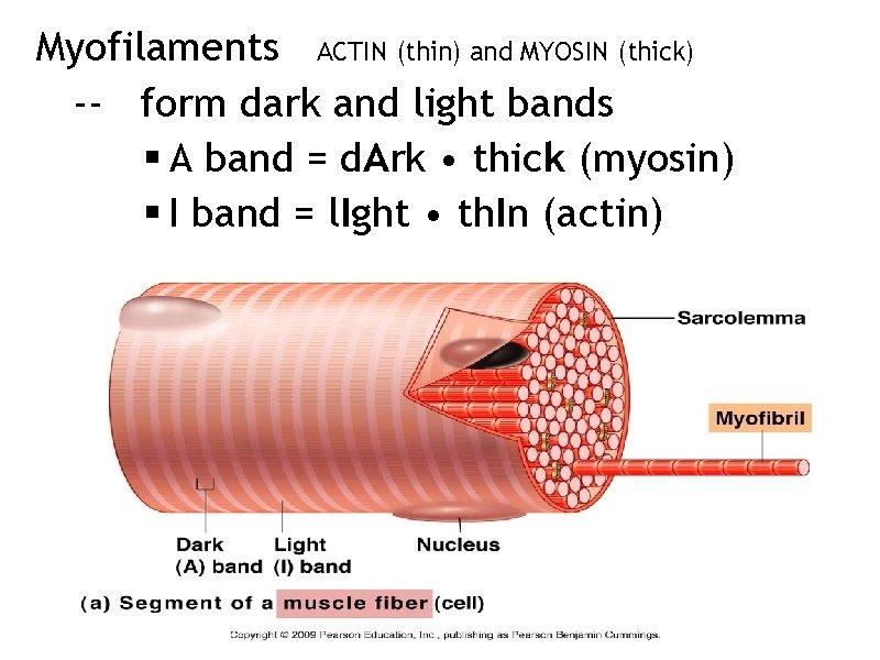 Myofilaments ACTIN (thin) and MYOSIN (thick) -- form dark and light bands § A