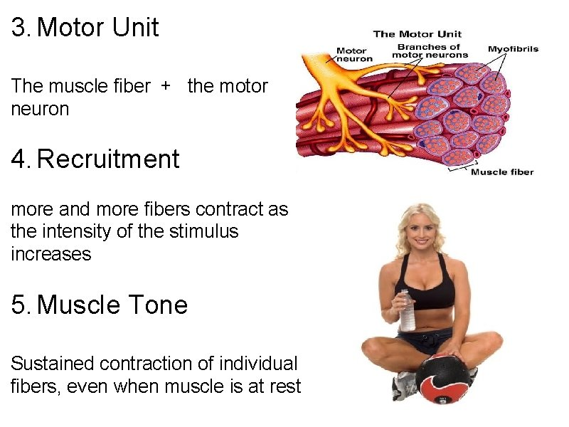 3. Motor Unit The muscle fiber + the motor neuron 4. Recruitment more and