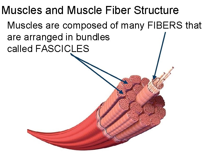 Muscles and Muscle Fiber Structure Muscles are composed of many FIBERS that are arranged