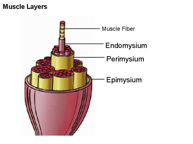 Muscle Layers Muscle Fiber Endomysium Perimysium Epimysium
