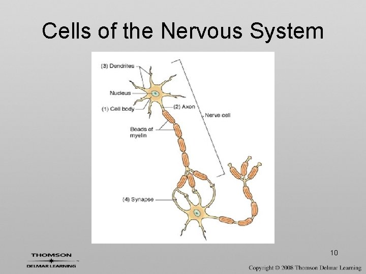 Cells of the Nervous System 10