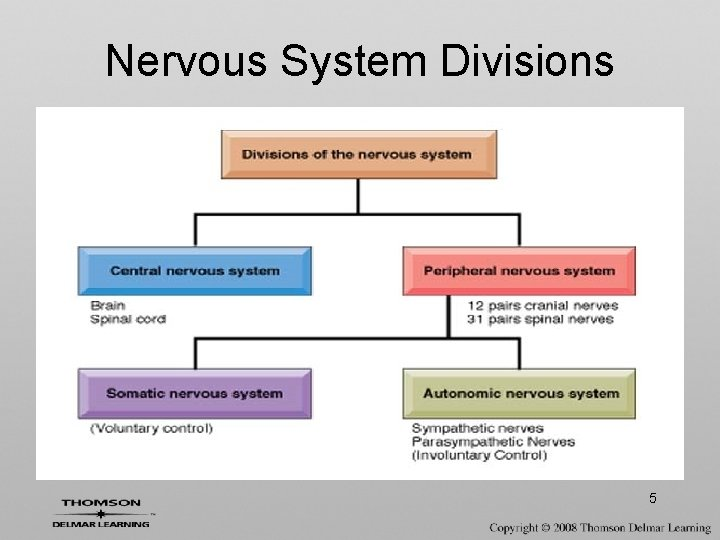 Nervous System Divisions 5