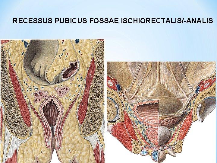 RECESSUS PUBICUS FOSSAE ISCHIORECTALIS/-ANALIS