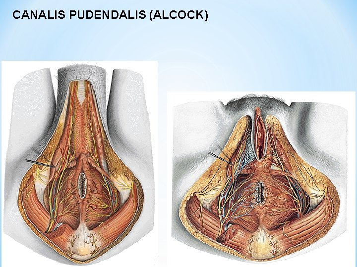 CANALIS PUDENDALIS (ALCOCK)