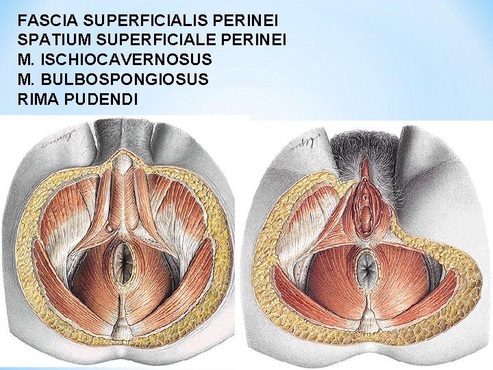 FASCIA SUPERFICIALIS PERINEI SPATIUM SUPERFICIALE PERINEI M. ISCHIOCAVERNOSUS M. BULBOSPONGIOSUS RIMA PUDENDI