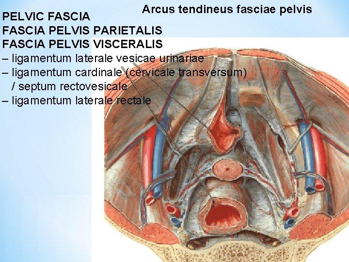 Arcus tendineus fasciae pelvis PELVIC FASCIA PELVIS PARIETALIS FASCIA PELVIS VISCERALIS – ligamentum laterale