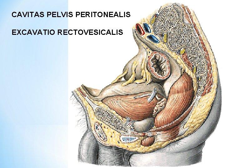 CAVITAS PELVIS PERITONEALIS EXCAVATIO RECTOVESICALIS