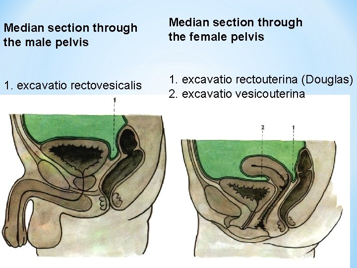 Median section through the male pelvis Median section through the female pelvis 1. excavatio
