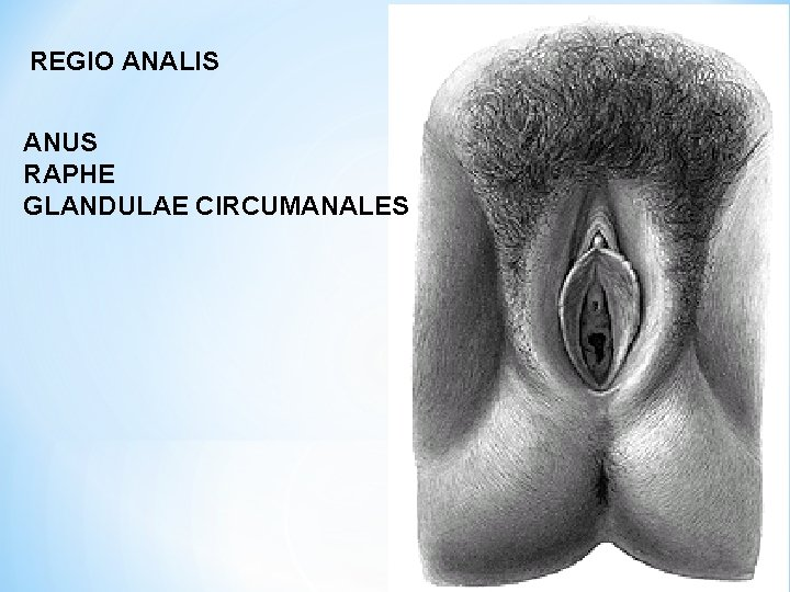 REGIO ANALIS ANUS RAPHE GLANDULAE CIRCUMANALES