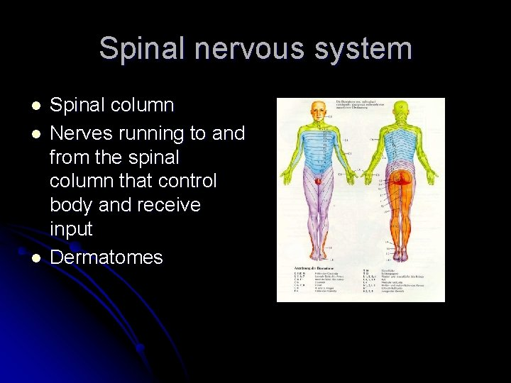 Spinal nervous system l l l Spinal column Nerves running to and from the