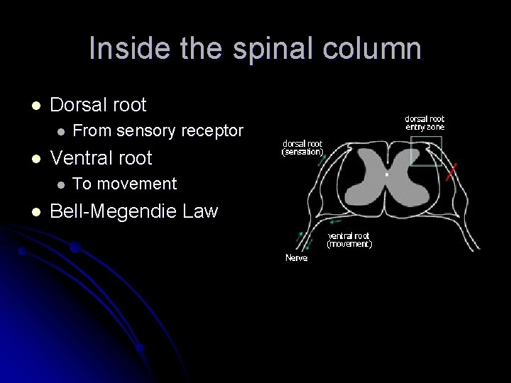 Inside the spinal column l Dorsal root l l Ventral root l l From