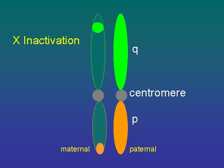 X Inactivation q centromere p maternal paternal