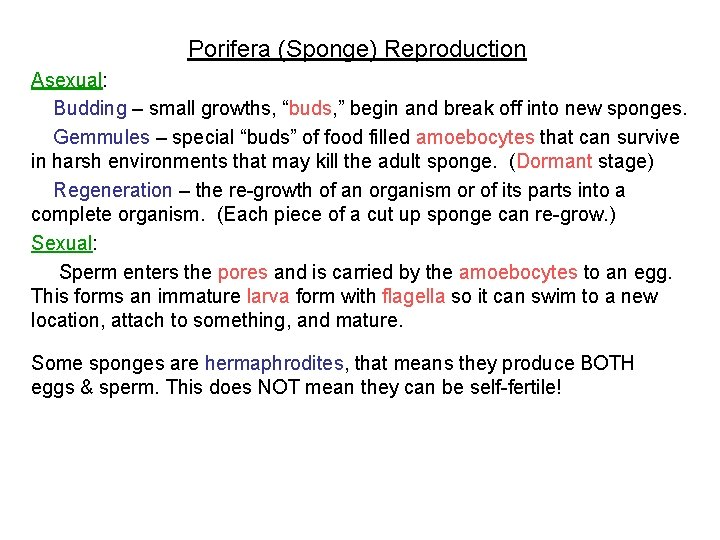 """Porifera (Sponge) Reproduction Asexual: Budding – small growths, """"buds, """" begin and break off"""