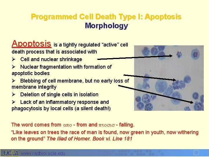 """Programmed Cell Death Type I: Apoptosis Morphology Apoptosis is a tightly regulated """"active"""" cell"""