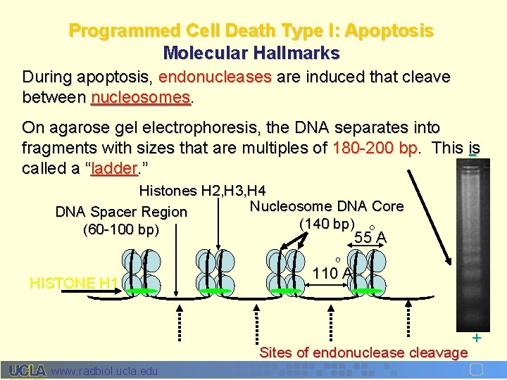 Programmed Cell Death Type I: Apoptosis Molecular Hallmarks During apoptosis, endonucleases are induced that