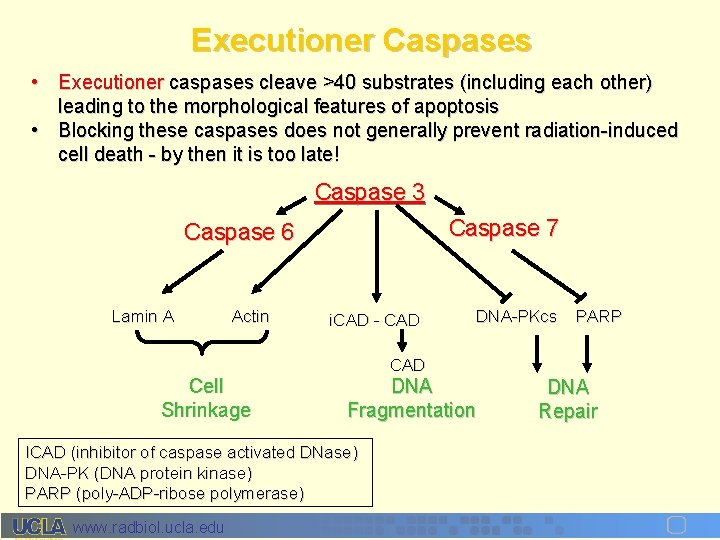 Executioner Caspases • Executioner caspases cleave >40 substrates (including each other) leading to the