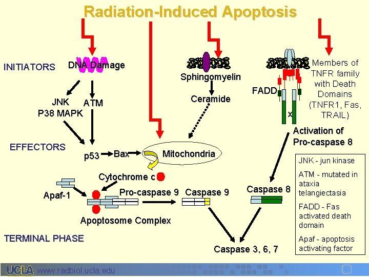 Radiation-Induced Apoptosis INITIATORS DNA Damage Sphingomyelin Ceramide JNK ATM P 38 MAPK EFFECTORS FADD