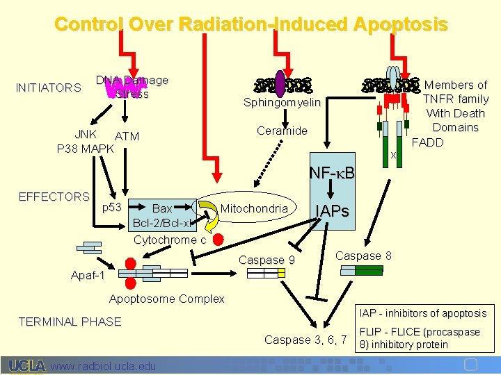 Control Over Radiation-Induced Apoptosis INITIATORS DNA Damage Stress Sphingomyelin Ceramide JNK ATM P 38