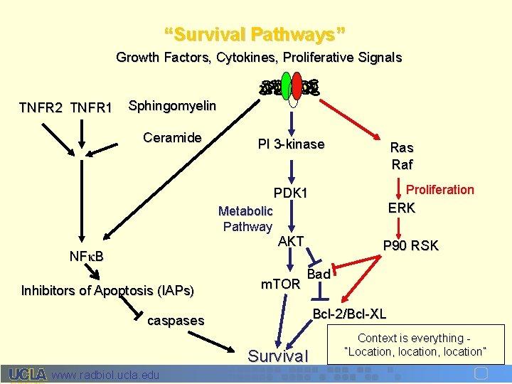 """""""Survival Pathways"""" Growth Factors, Cytokines, Proliferative Signals TNFR 2 TNFR 1 Sphingomyelin Ceramide PI"""
