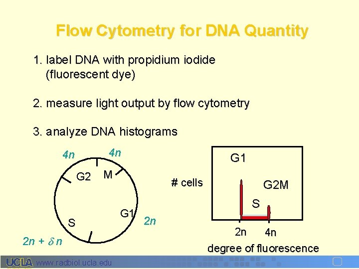 Flow Cytometry for DNA Quantity 1. label DNA with propidium iodide (fluorescent dye) 2.