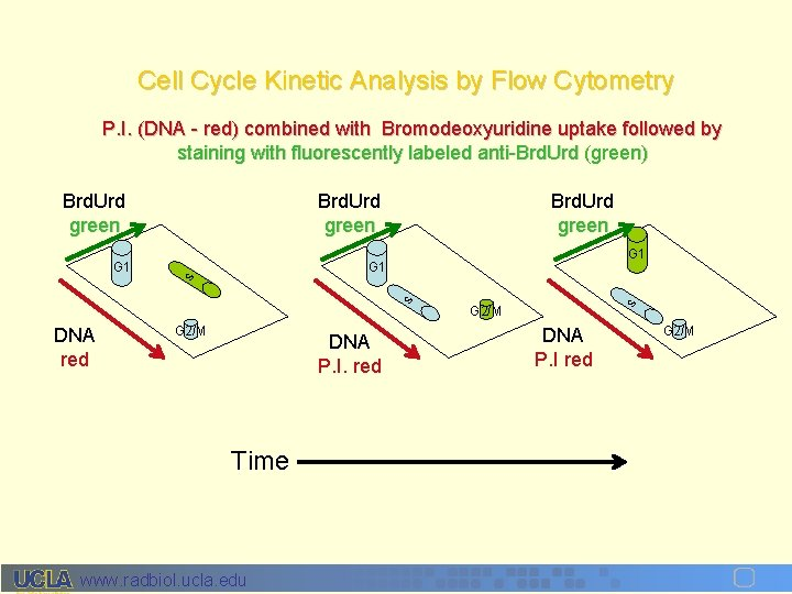 Cell Cycle Kinetic Analysis by Flow Cytometry P. I. (DNA - red) combined with