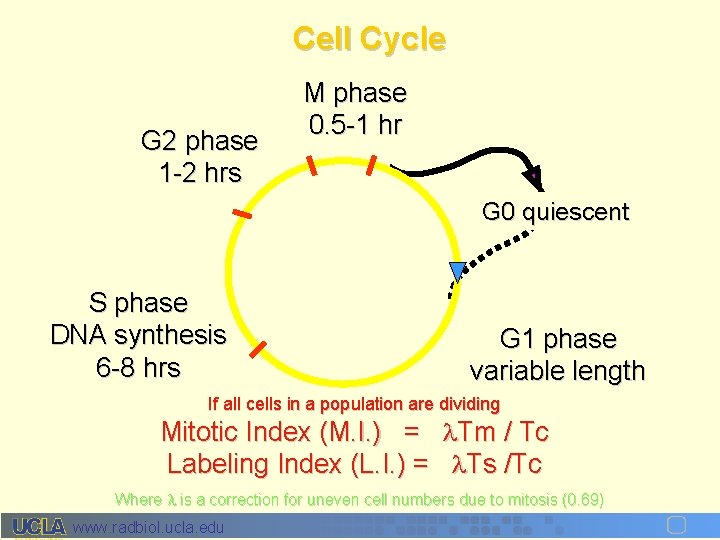 Cell Cycle G 2 phase 1 -2 hrs M phase 0. 5 -1 hr