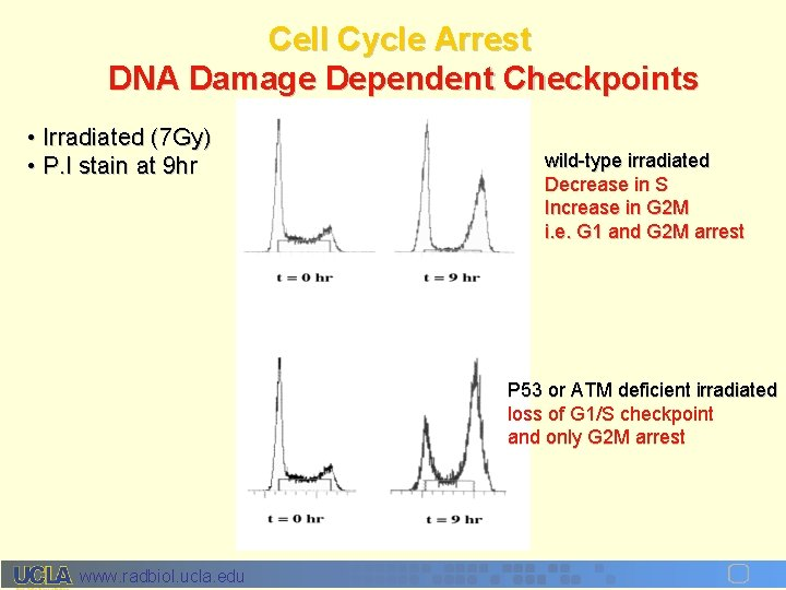 Cell Cycle Arrest DNA Damage Dependent Checkpoints • Irradiated (7 Gy) • P. I