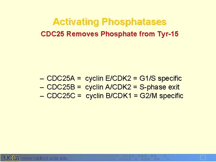 Activating Phosphatases CDC 25 Removes Phosphate from Tyr-15 – CDC 25 A = cyclin