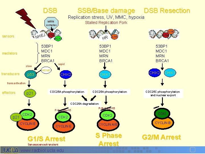DSB SSB/Base damage Replication stress, UV, MMC, hypoxia MRN complex HEJ sensors N mediators