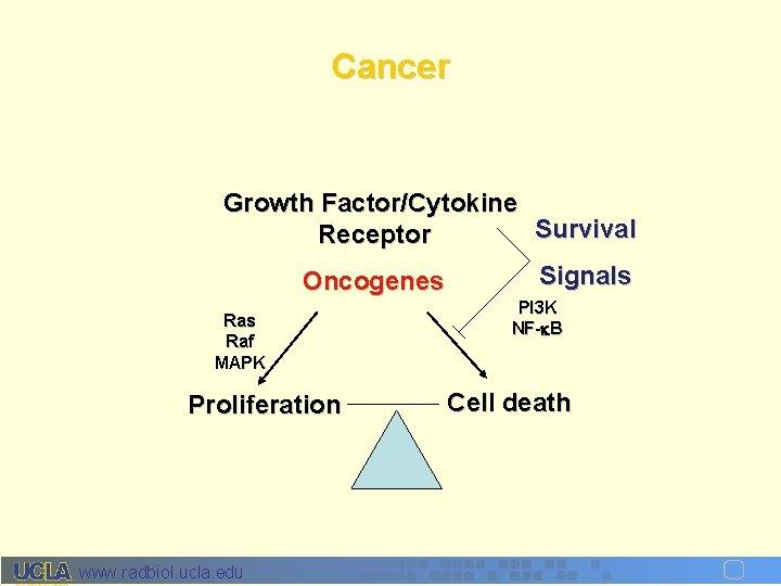 Cancer Growth Factor/Cytokine Survival Receptor Oncogenes Raf MAPK Proliferation www. radbiol. ucla. edu Signals