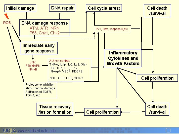 DNA repair Initial damage ROS Cell cycle arrest Cell death /survival DNA damage response